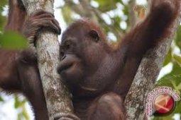 BKSDA Kalbar Terima Dua Orangutan Peliharaan