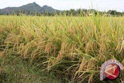 LPPM Unsoed kembangkan padi hemat air