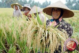 Aceh Tenggara terus kembangkan padi serang