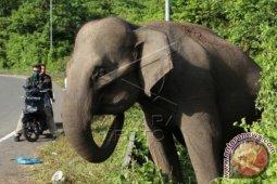 Kawanan gajah rusak kebun warga di Subulussalam