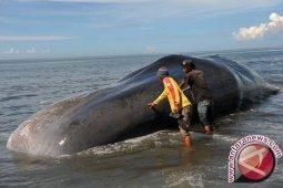 270 paus pilot terdampar di pesisir Pulau Tasmania