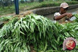 Bahaya Mengkonsumsi Sayur Kangkung Berlebihan