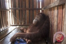 BKSDA Kalbar Lepasliarkan Dua Orangutan