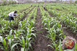 Petani kakao beralih tanaman jagung