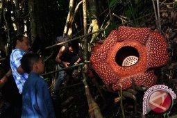 Dua Rafflesia Bengkuluensis Mekar di Hutan Kaur