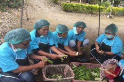 TPL Latih Masyarakat Tobasa Produksi Keripik Pisang