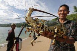 Lobster tangkapan nelayan