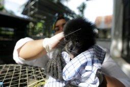 BKSDA Aceh rawat lima bayi siamang