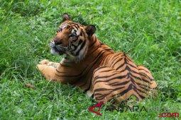 Hati-hati, harimau sering muncul di jalan Aceh Selatan