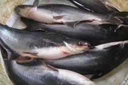 Pindang ikan patin, berjuta rasa