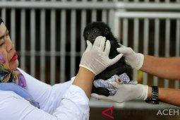 Merawat bayi Siamang