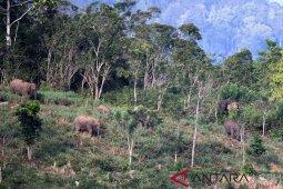 Kelompok gajah di Aceh tersebar di beberapa daerah