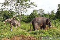 Saatnya berbagi ruang dengan  gajah sumatera