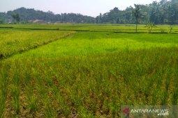Puluhan hektare lahan padi dan jagung di Samar Kilang Bener Meriah gagal panen