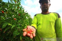 Petani Cabai Hiyung resah, karena pertaniannya tidak bisa di asuransikan