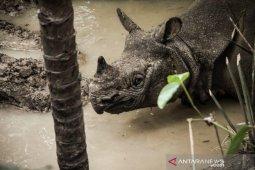 Pemda Aceh akan bangun konservasi badak sumatera