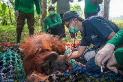 BKSDA dan IAR Indonesia selamatkan satu orangutan korban kebakaran