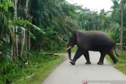 Gajah liar ngamuk dan rusak pagar masjid