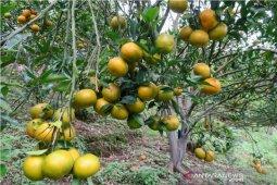 Distanak Rejang Lebong:  Lima kecamatan pusat pengembangan jeruk gerga