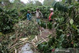 Tanaman perkebunan dirusak gajah liar