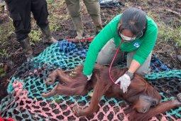 BKSDA Kalbar-IAR selamatkan sembilan orangutan terdampak karhutla