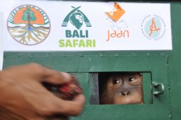 BKSDA Sumut jemput Orangutan