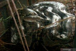 Waduh, ada ular sanca ngumpet di belakang kulkas rumah warga Setu