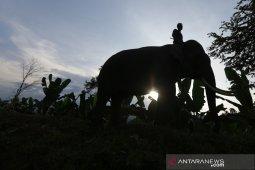 Gajah Jinak BKSDA Aceh