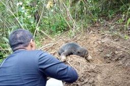BKSDA Sumbar selamatkan beruang madu yang terjerat di kebun warga