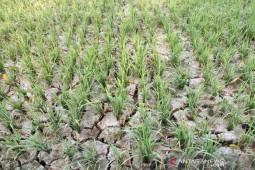 Ratusan hektar sawah terancam gagal panen