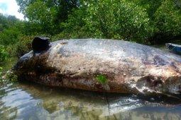 Paus berukuran 20 meter terdampar di Rote