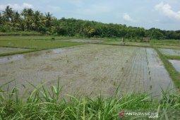 Petani Aceh Jaya resah, tanaman padi diserang keong