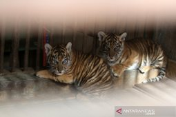 Sepasang Harimau Sumatera lahir di Taman Satwa Bukittinggi