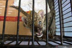 Bayi leopard Afrika hasil sitaan mati di kebun binatang Kampar