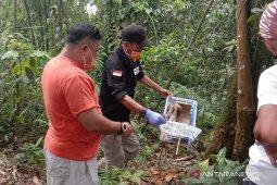 Antisipasi kepunahan, aktivis penyelamatan satwa lepasliarkan Kukang Jawa