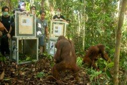 Lima orangutan kembali dilepasliarkan di TN Bukit Baka Bukit Raya