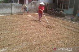 Produktivitas kopi Rejang Lebong di atas nasional