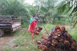 Harga sawit di Mukomuko turun Rp40/kilogram