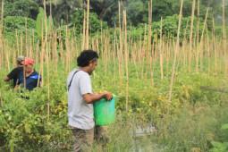 Haltim dan Halut produksi padi tertinggi