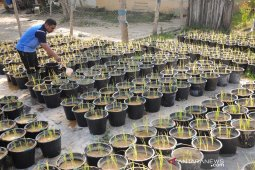 Tanaman padi organik