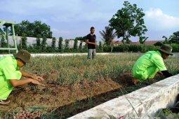 Wabah COVID-19 tak menyurutkan Mahasiswa Polbangtan Medan panen bawang merah