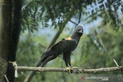 Dua ekor elang dilepasliarkan di TN Gunung Halimun Salak
