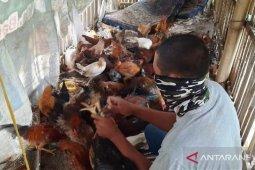 Panen ayam, Polbangtan Medan bantu ketersediaan pangan ditengah wabah COVID-19
