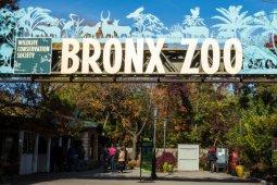 Kasus unik, harimau di kebun binatang New York sakit dan positif terinfeksi corona
