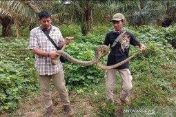 Ular phyton berukuran tiga meter dilepasliarkan oleh BKSDA ke habitatnya