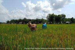 Produksi padi petani di Belitung meningkat di tengah pandemi COVID-19