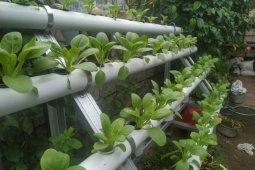 Akademisi Pertanian : hidroponik bisa obati stres selama COVID-19