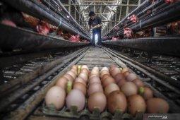 Harga telur ayam di Putussibau capai Rp3.500/butir