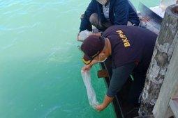 KKP lepasliarkan 44.770 benih bening lobster di Sumbar