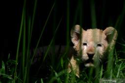 Bayi SInga Putih Taman Safari Prigen